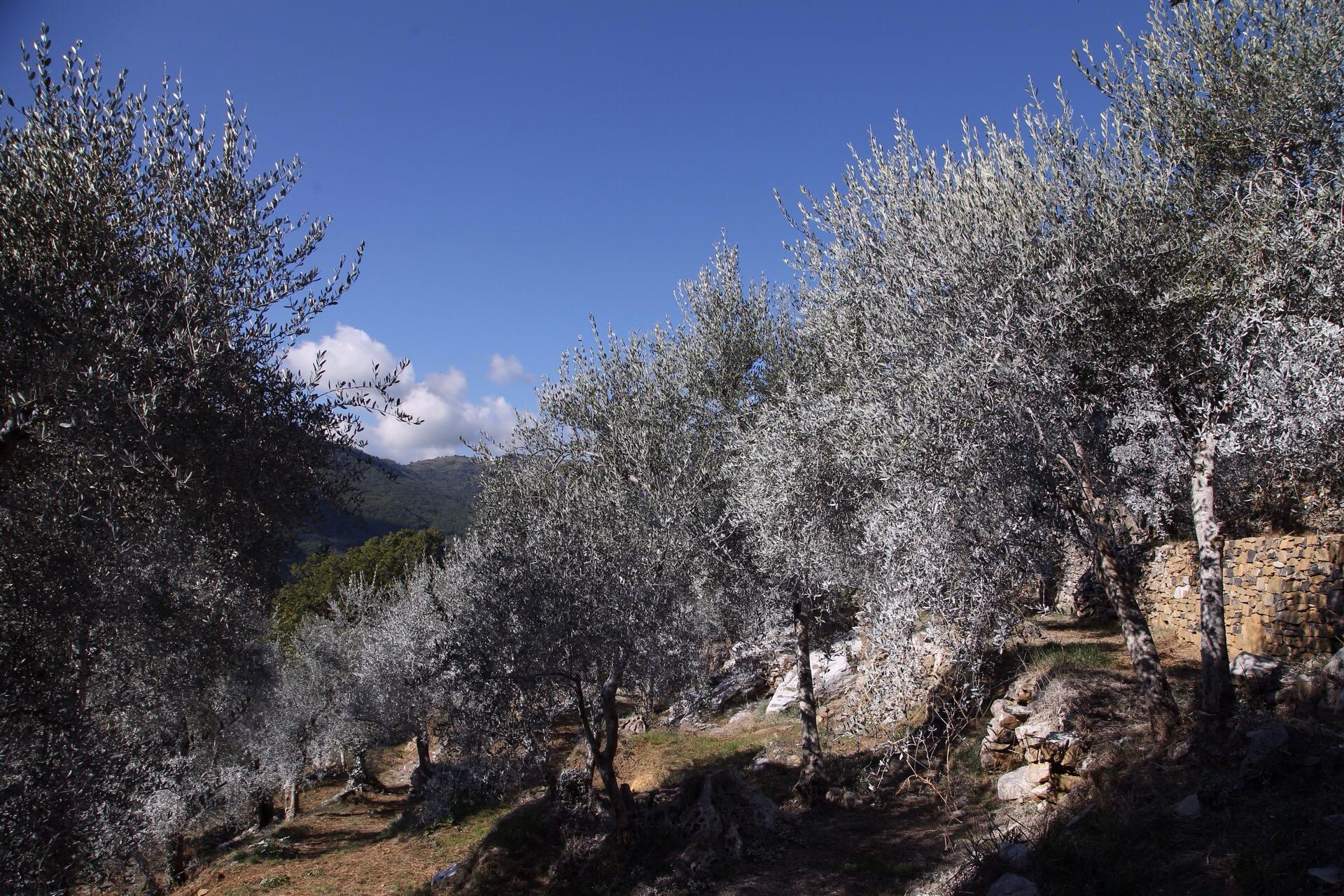 Bianco Caolino e la Mosca Olearia
