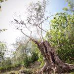 olivo monumentale di varietà taggiasca nella Valle Impero