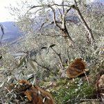 oliveto in fase di potatura nella Valle Impero
