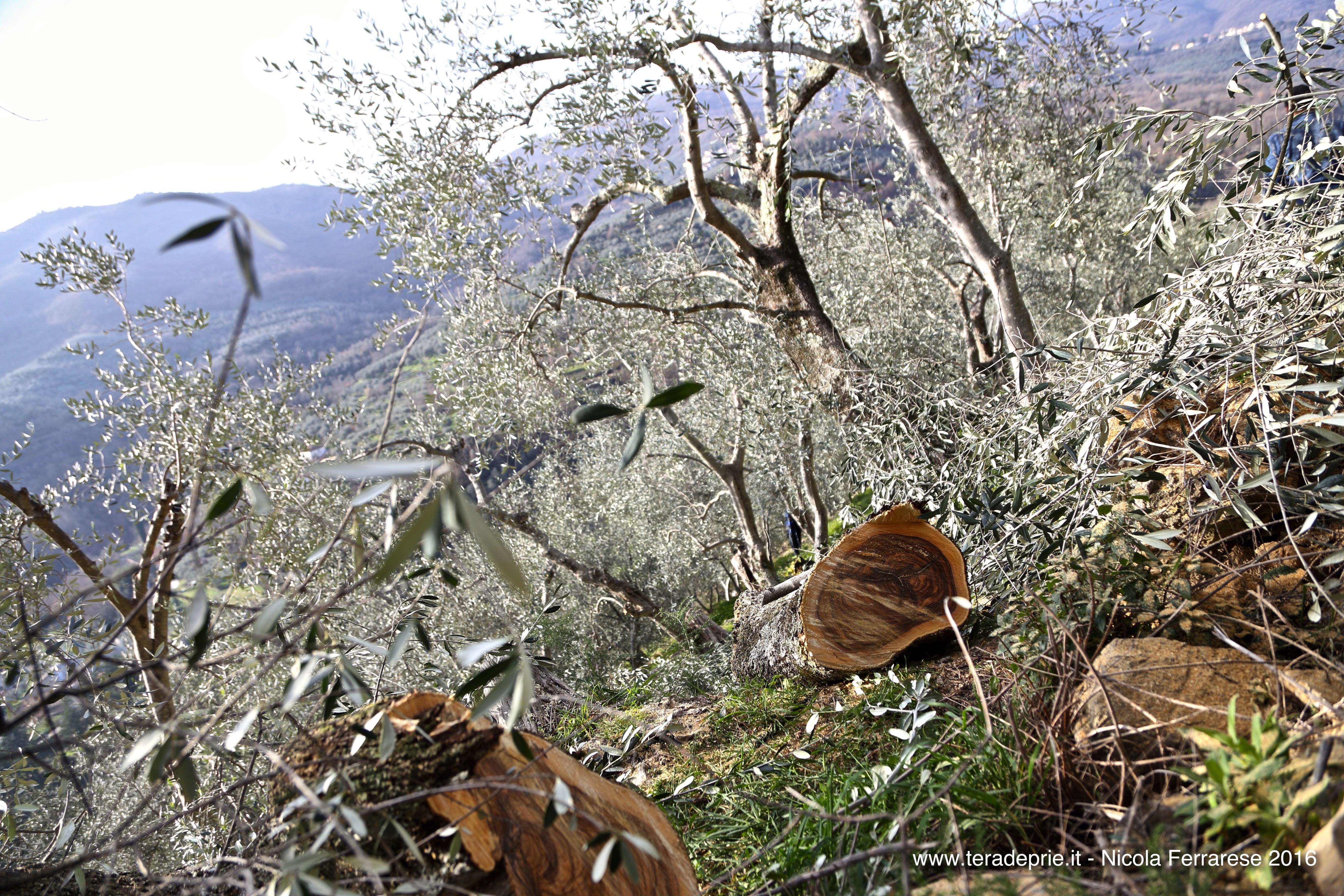 Perché è importante potare gli alberi d'olivo