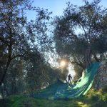 Raccolta delle olive taggiasche in Liguria