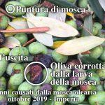 danni da mosca olearia sulle olive taggiasche raccolto 2019